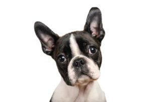 cachorros Boston Terrier Medellín