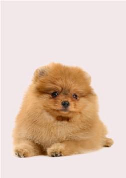 cachorros razas miniatura