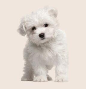 perros hipoalergénicos